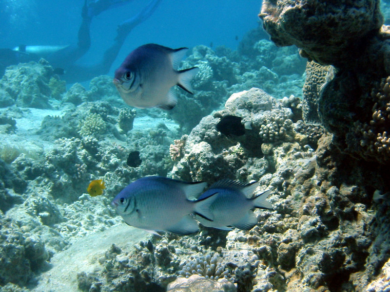 Pale Damselfish (Amblyglyphidodon indicus) at Red Sea; DISPLAY FULL IMAGE.