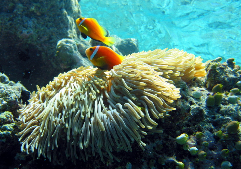 Clownfish (Subfamily: Amphiprioninae) - Wiki; DISPLAY FULL IMAGE.