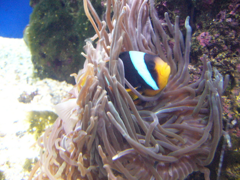 Allard's Clownfish (Amphiprion allardi) - Wiki; DISPLAY FULL IMAGE.