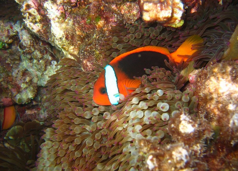 Cinnamon Clownfish (Amphiprion melanopus) - Wiki; DISPLAY FULL IMAGE.