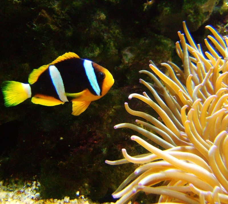 Clark's anemonefish (Amphiprion clarkii) - Wiki; DISPLAY FULL IMAGE.