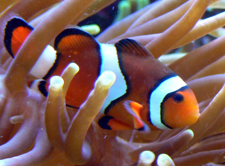 Percula Clownfish (Amphiprion percula) - Wiki; Image ONLY