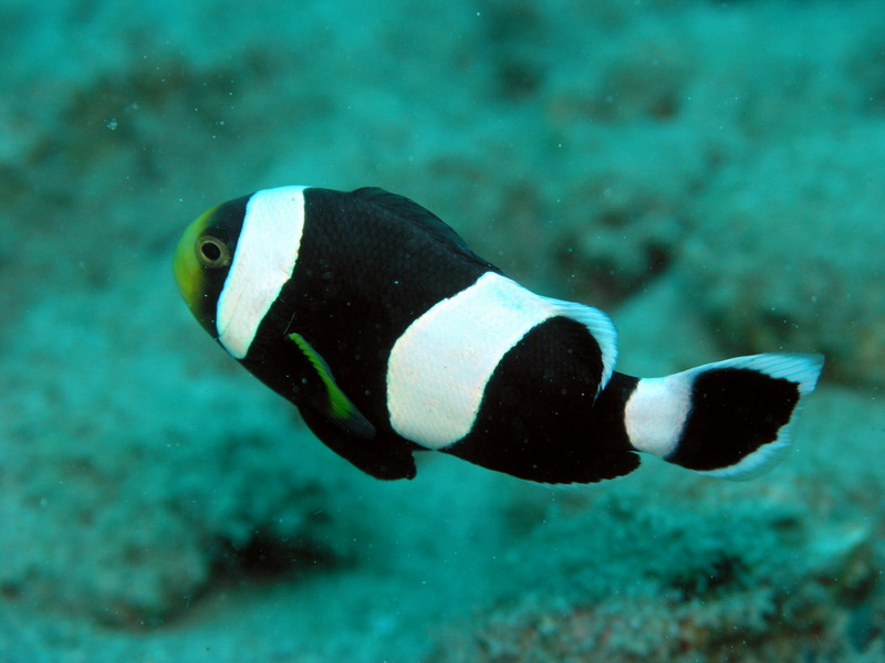 Saddleback Clownfish (Amphiprion polymnus) - Wiki; DISPLAY FULL IMAGE.