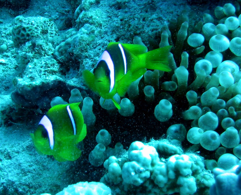 red sea clownfish amphiprion bicinctus   wiki display full image