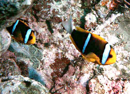 Orange-fin Anemonefish (Amphiprion chrysopterus) - Wiki; Image ONLY