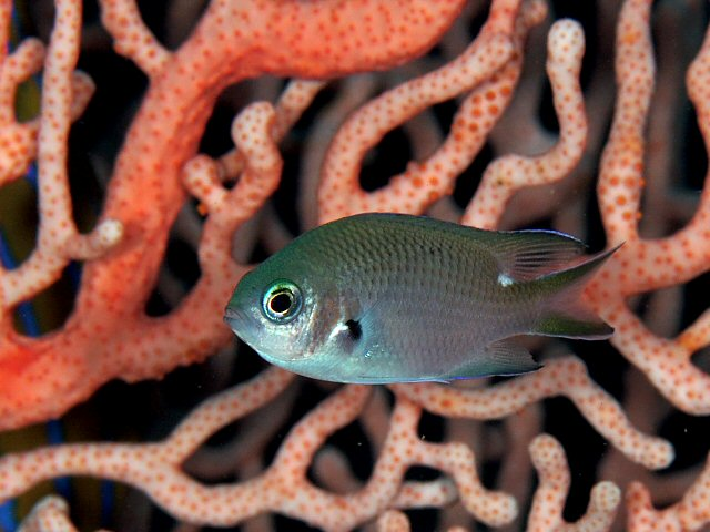 Pearl-spot Chromis (Chromis notata) - Wiki; Image ONLY