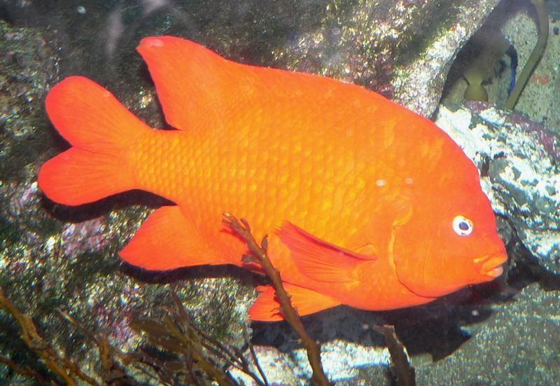 Garibaldi Damselfish (Hypsypops rubicundus) - Wiki; DISPLAY FULL IMAGE.