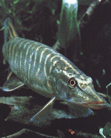 Northern Pike Fish-Closeup.jpg