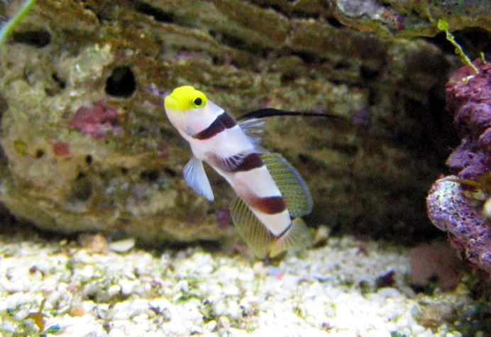 Black ray goby stonogobiops nematodes wiki image only for Saltwater goby fish