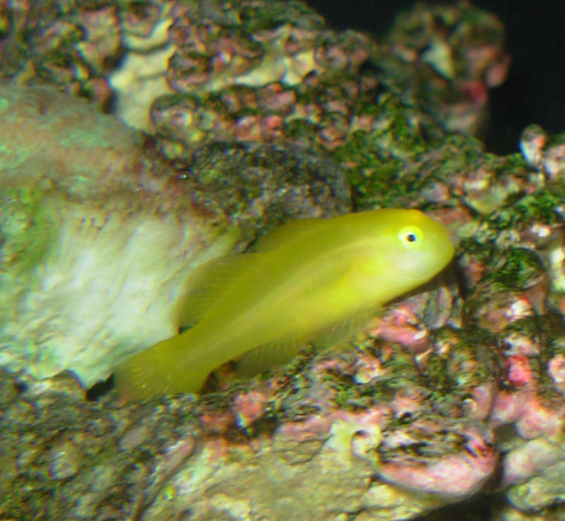 Yellow Clown Goby (Gobiodon okinawae) - Wiki; DISPLAY FULL IMAGE.