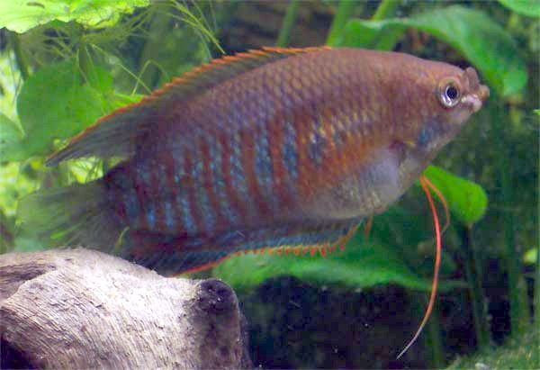 Thick-lipped Gourami (Colisa labiosus) - Wiki; Image ONLY