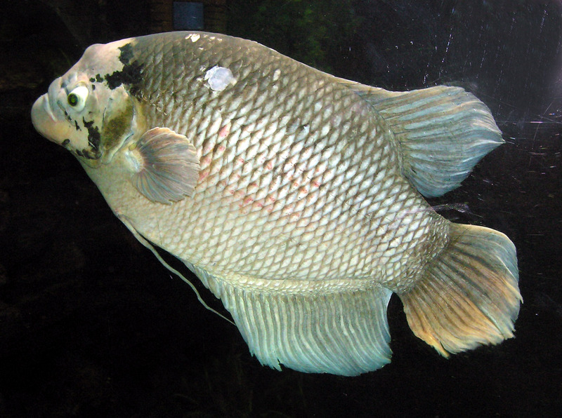 Giant Gourami (Osphronemus goramy) - Wiki; DISPLAY FULL IMAGE.