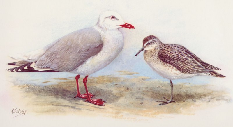KARORO (Southern Black Billed Gull) and Black Billed Gull; DISPLAY FULL IMAGE.