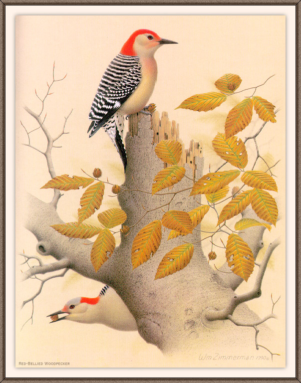[Woodpeckers by Zimmerman] Red-bellied Woodpecker; Image ONLY