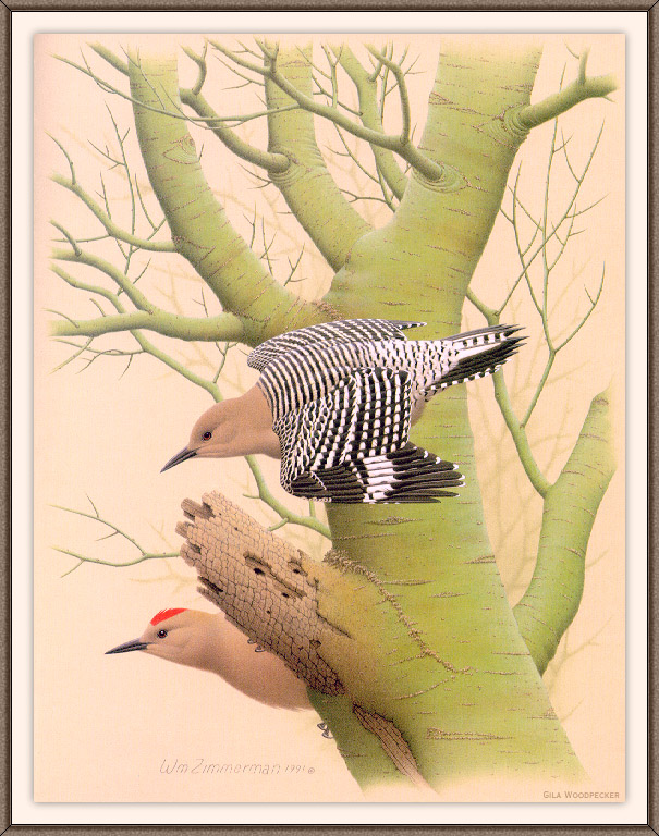 [Woodpeckers by Zimmerman] Gila Woodpecker; Image ONLY