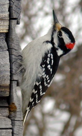 Woodpecker (Family: Picidae) - Wiki; Image ONLY