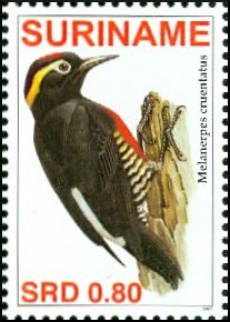 Yellow-tufted Woodpecker (Melanerpes cruentatus) - Wiki; Image ONLY