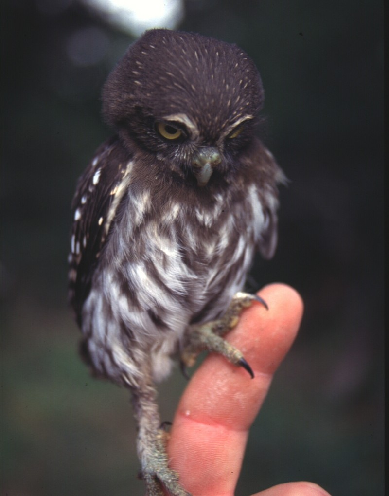 Ferruginous Pygmy-owl (Glaucidium brasilianum) - Wiki; DISPLAY FULL IMAGE.