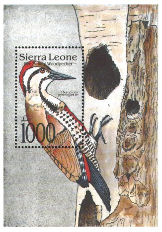 Fire-bellied Woodpecker (Dendropicos pyrrhogaster) - Wiki; Image ONLY