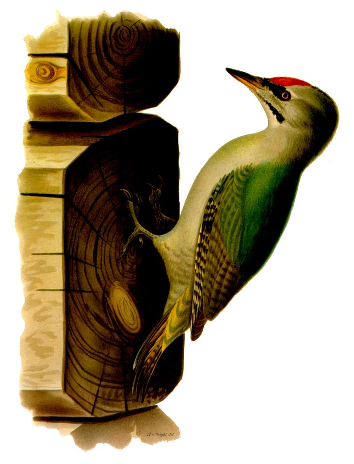 Grey-headed Woodpecker (Picus canus) - wiki; Image ONLY