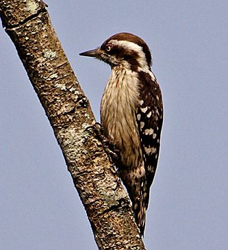 Brown-capped Woodpecker (Dendrocopos nanus) - wiki; Image ONLY