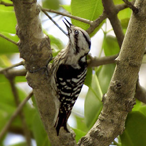 Grey-capped Woodpecker (Dendrocopos canicapillus) - wiki; Image ONLY