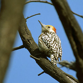 Yellow-crowned Woodpecker (Dendrocopos mahrattensis) - Wiki; Image ONLY