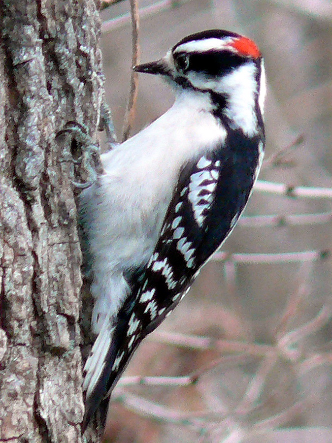 Downy Woodpecker (Picoides pubescens) - wiki; Image ONLY