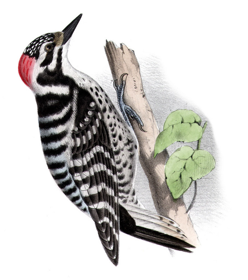 Nuttall's Woodpecker (Picoides nuttallii) - wiki; DISPLAY FULL IMAGE.