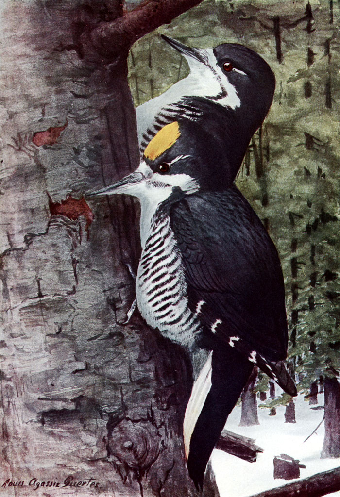 Black-backed Woodpecker (Picoides arcticus) - Wiki; Image ONLY
