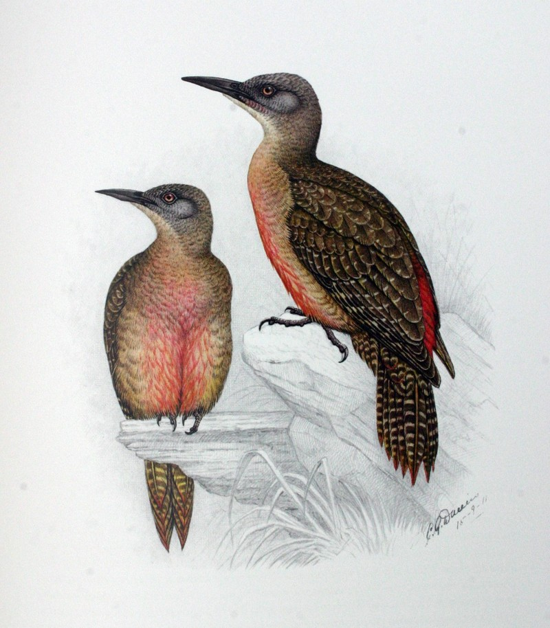 Ground Woodpecker (Geocolaptes olivaceus) - illustration; DISPLAY FULL IMAGE.