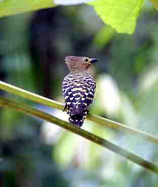 Buff-rumped Woodpecker (Meiglyptes tristis) - Wiki; Image ONLY