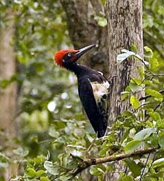 White-bellied Woodpecker (Dryocopus javensis) - Wiki; Image ONLY