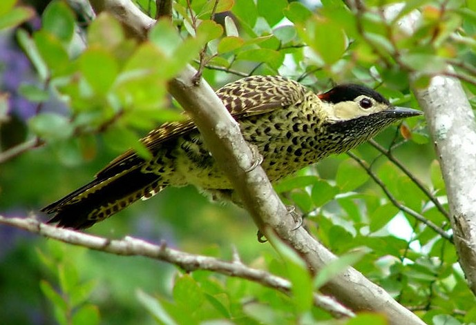 Green-barred Woodpecker (Colaptes melanochloros) - Wiki; Image ONLY