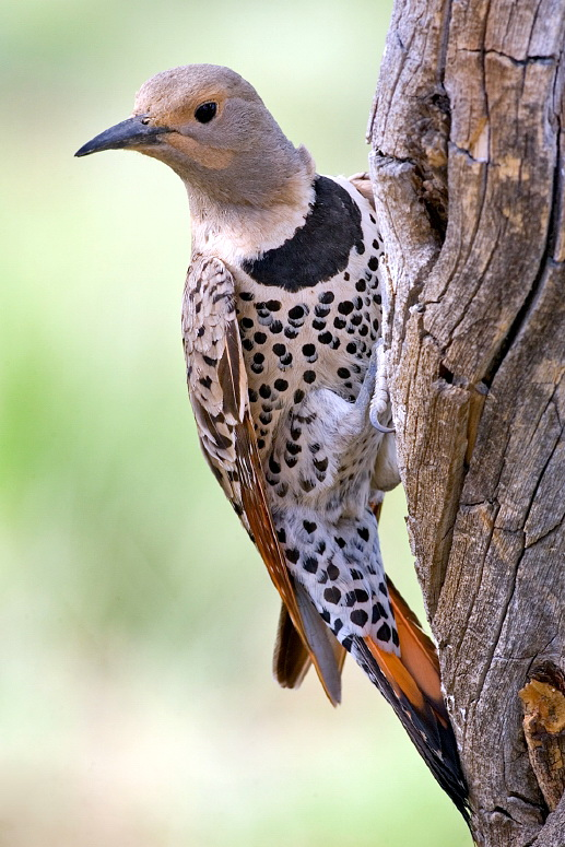 Northern Flicker (Colaptes auratus) - wiki; Image ONLY