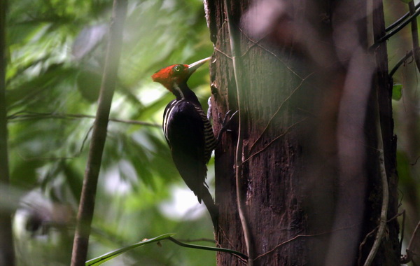 Pale-billed Woodpecker (Campephilus guatemalensis) - Wiki; Image ONLY