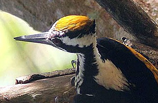 White-naped Woodpecker (Chrysocolaptes festivus) - Wiki; Image ONLY