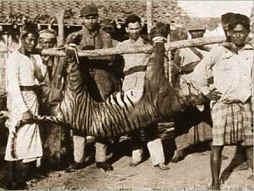 Bali tiger (Panthera tigris balica) Balinese tiger.jpg