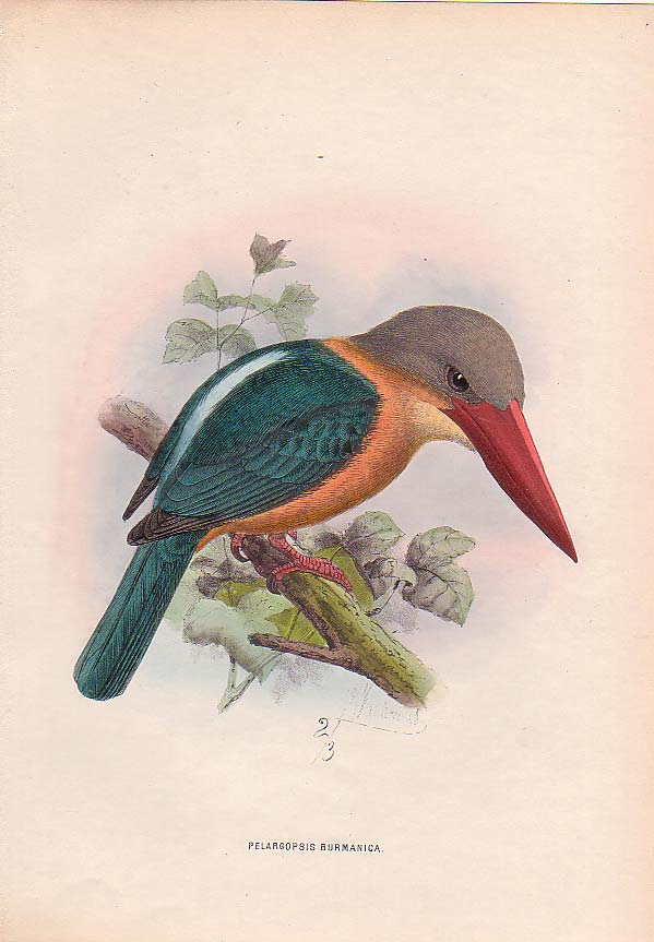 Tree kingfisher (Family: Halcyonidae) - Wiki; Image ONLY