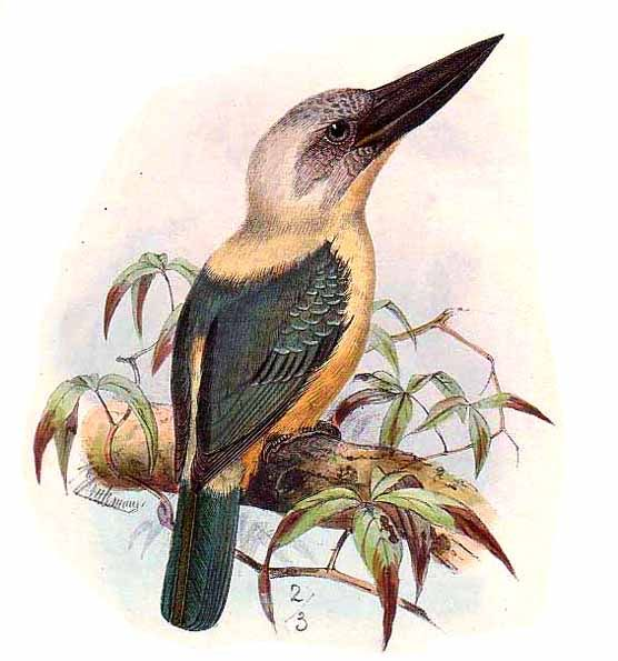 Black-billed Kingfisher (Pelargopsis melanorhyncha) - Wiki; Image ONLY
