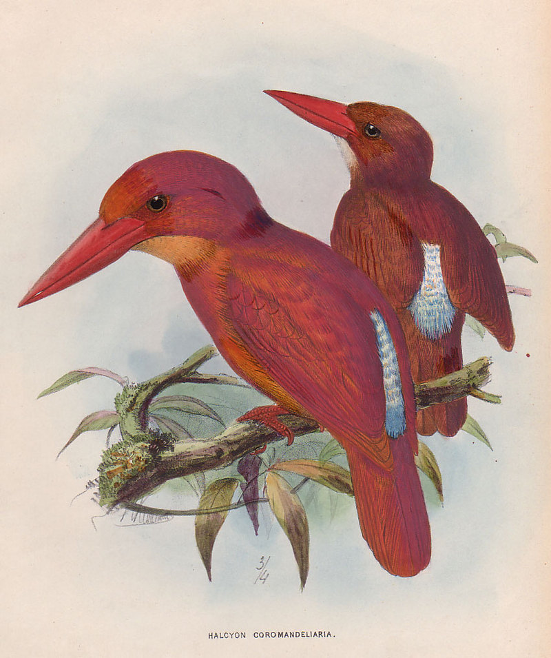 Ruddy Kingfisher (Halcyon coromanda) - Wiki; DISPLAY FULL IMAGE.
