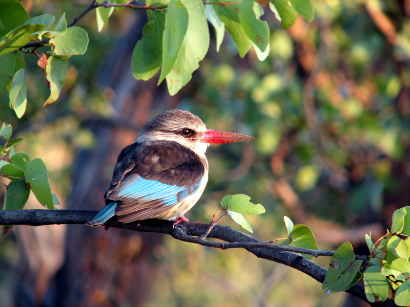Brown-hooded Kingfisher (Halcyon albiventris) - wiki; DISPLAY FULL IMAGE.