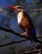 Chestnut-bellied Kingfisher (Todiramphus farquhari) - wiki; Image ONLY