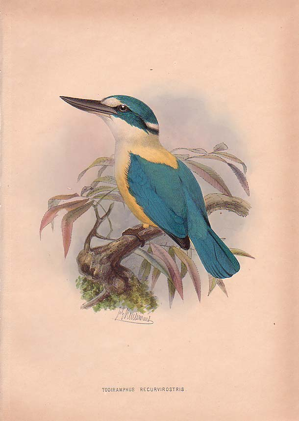 Flat-billed Kingfisher (Todiramphus recurvirostris) - Wiki; Image ONLY