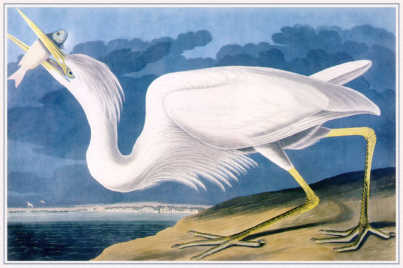 Great White Heron; DISPLAY FULL IMAGE.