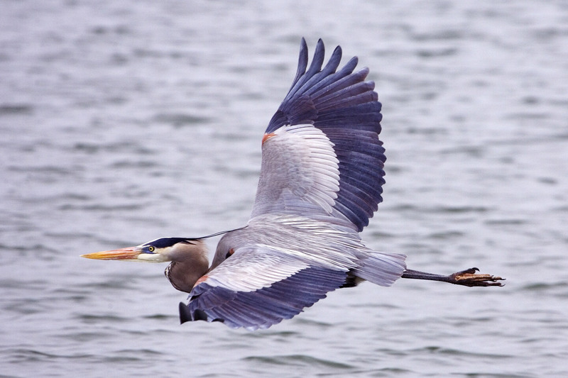 Great Blue Heron (Ardea herodias) - wiki; DISPLAY FULL IMAGE.