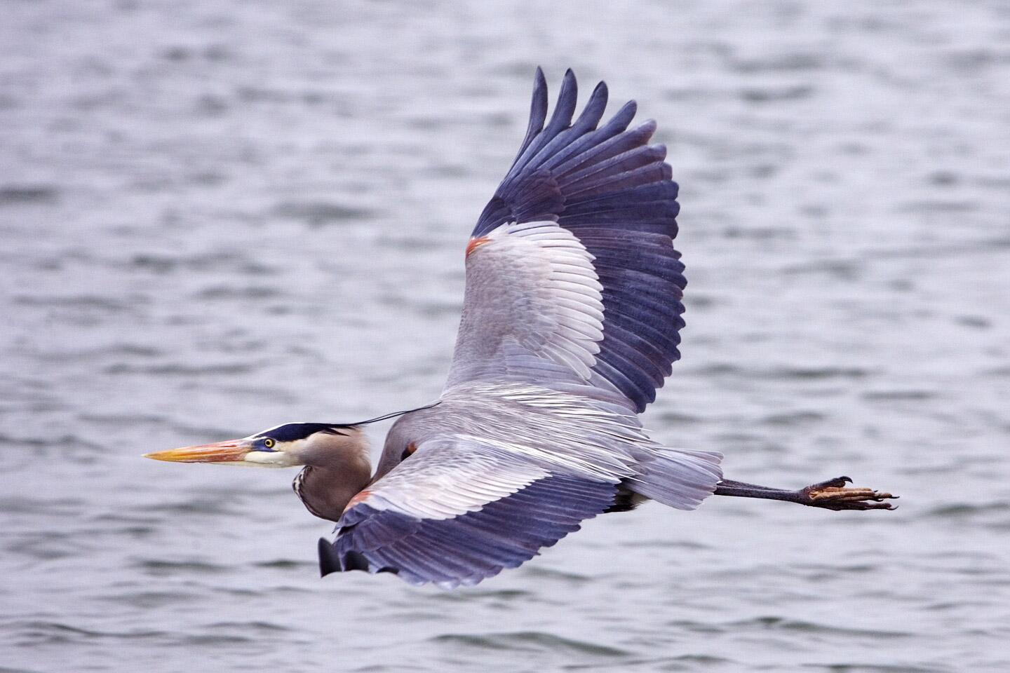 Great Blue Heron (Ardea herodias) - wiki; Image ONLY
