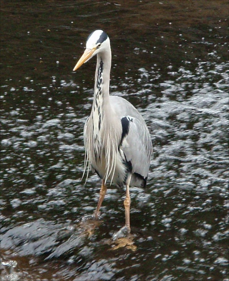 Grey Heron (Ardea cinerea) - wiki; DISPLAY FULL IMAGE.