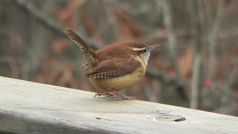 Carolina Wren (Thryothorus ludovicianus) - wiki; DISPLAY FULL IMAGE.