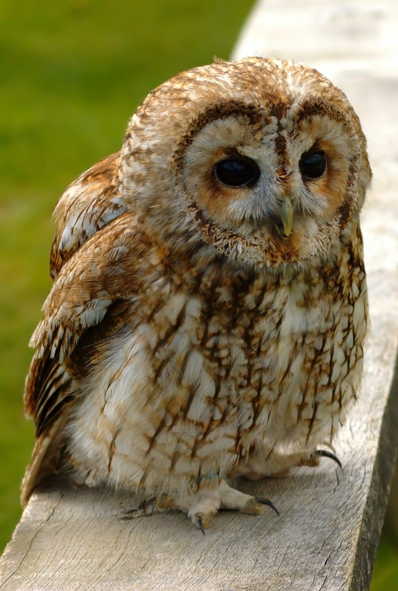 Tawny Owl (Strix aluco) - wiki; DISPLAY FULL IMAGE.